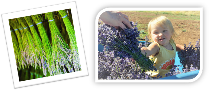 Meadow of Lavender - Harvest